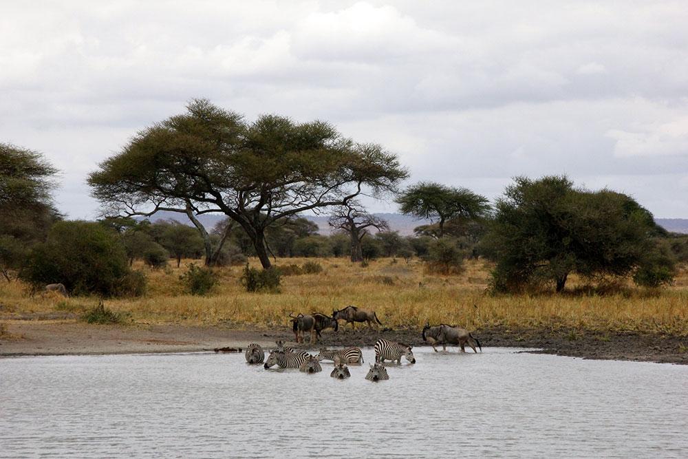 Tarangiri Nationalpark badende Zebra