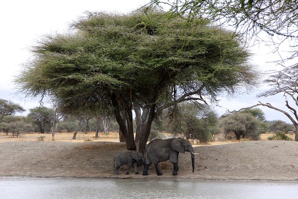 Tarangiri Nationalpark Elefanten