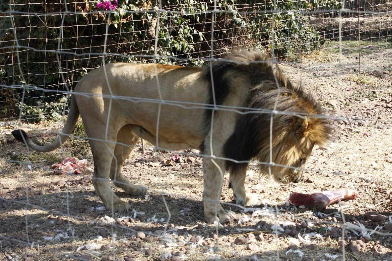 Männlicher Löwe mit Fleisch hinter Zaun