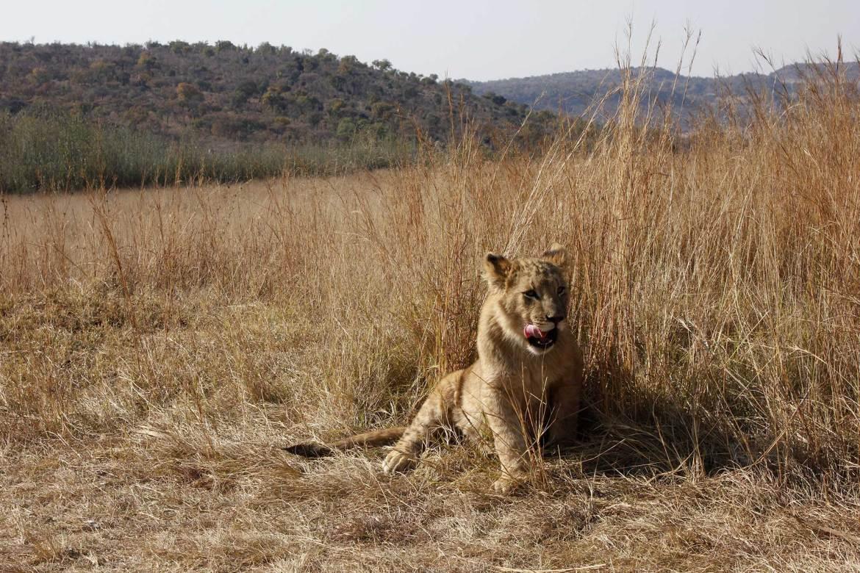 Junger Löwe liegt in hohem Gras