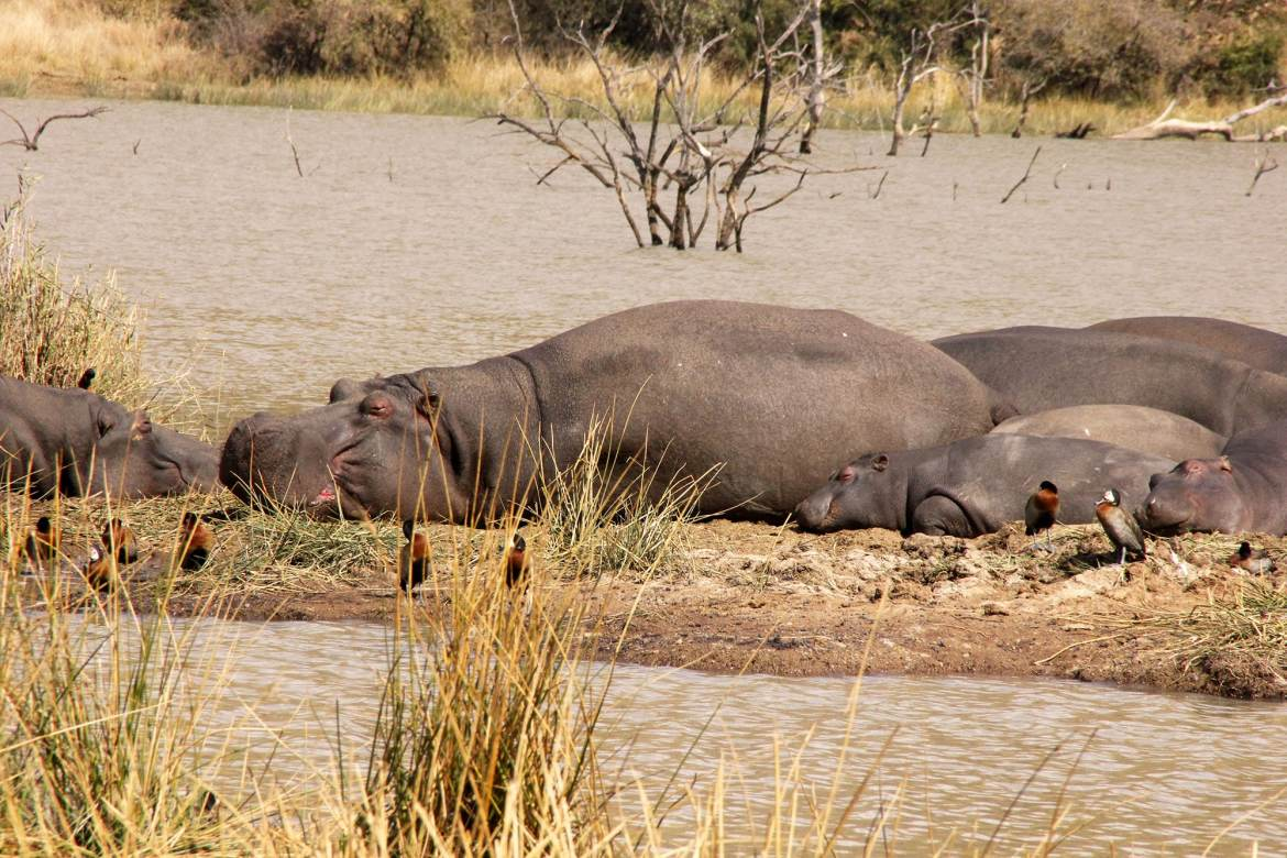 A hippo Family is relaxing on the riverside