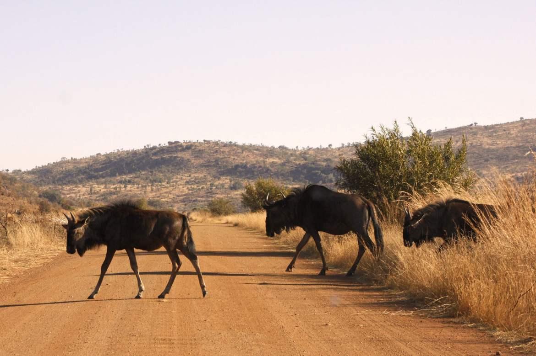 Gnus überqueren eine Sandstraße in Pilanesberg