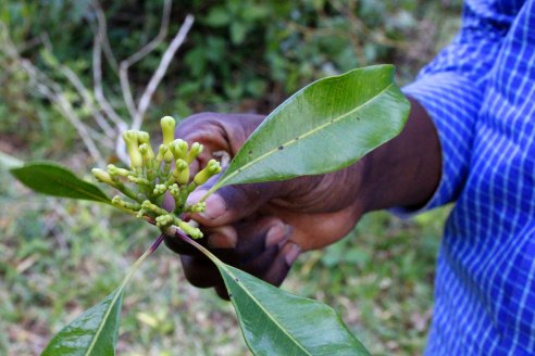 Young cloves