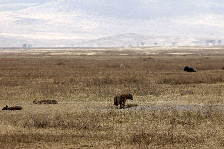 Hyänen im Ngorongoro Krater