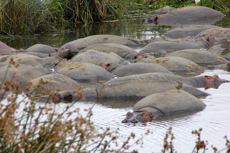 Viele Nilpferde im Wasser