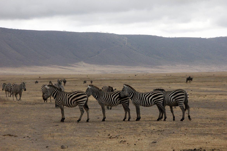 Zebras in einer Reihe
