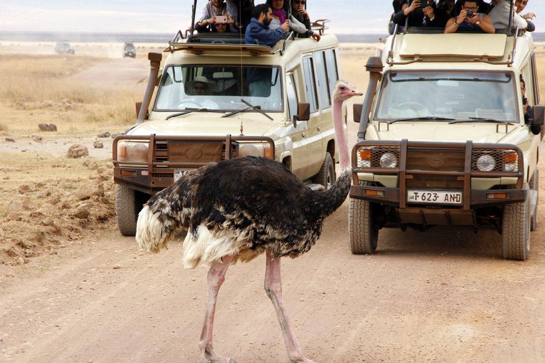 Strauß läuft vor Safari Autos