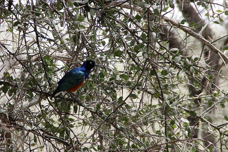 Blauer Vogel in dornigem Baum im Tarangire Nationalpark