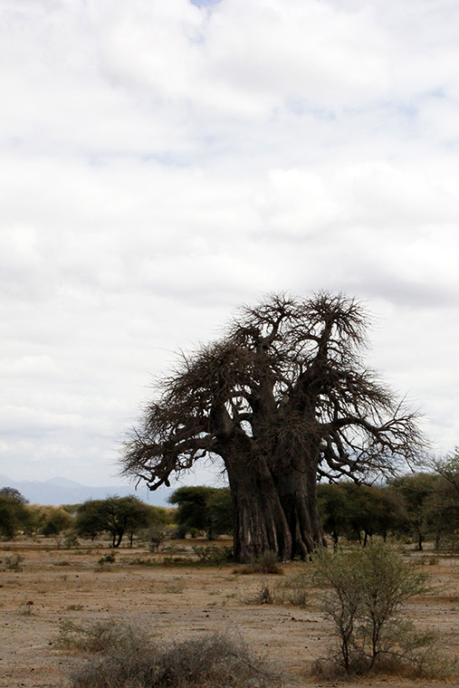Baobab Baum in Savanne im Tarangire Nationalpark, Tansania