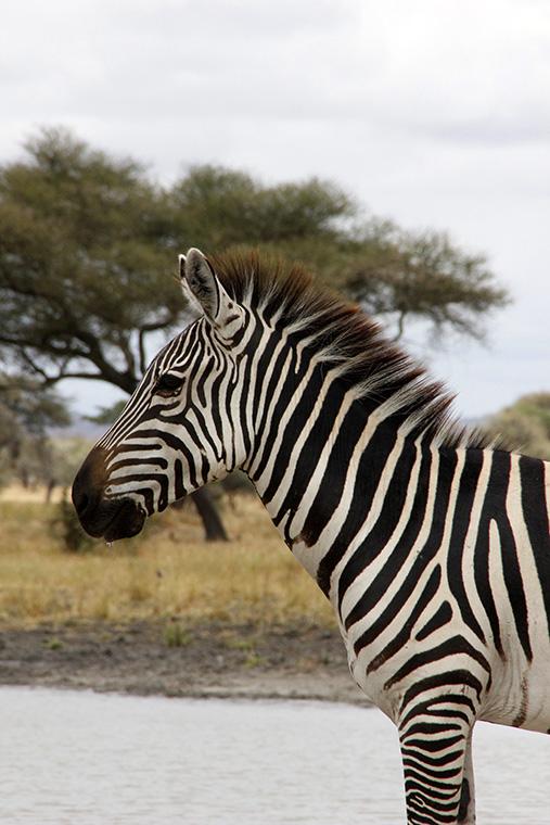 Zebra Oberkörper von der Seite