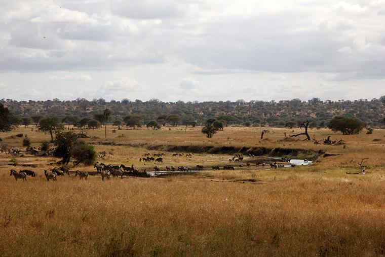 Braune Savanne mit Fluss und Tierherden im Tarangire Nationalpark, Tansania