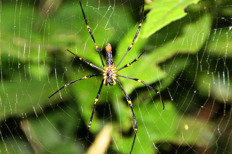 Spinne in Cat Ba