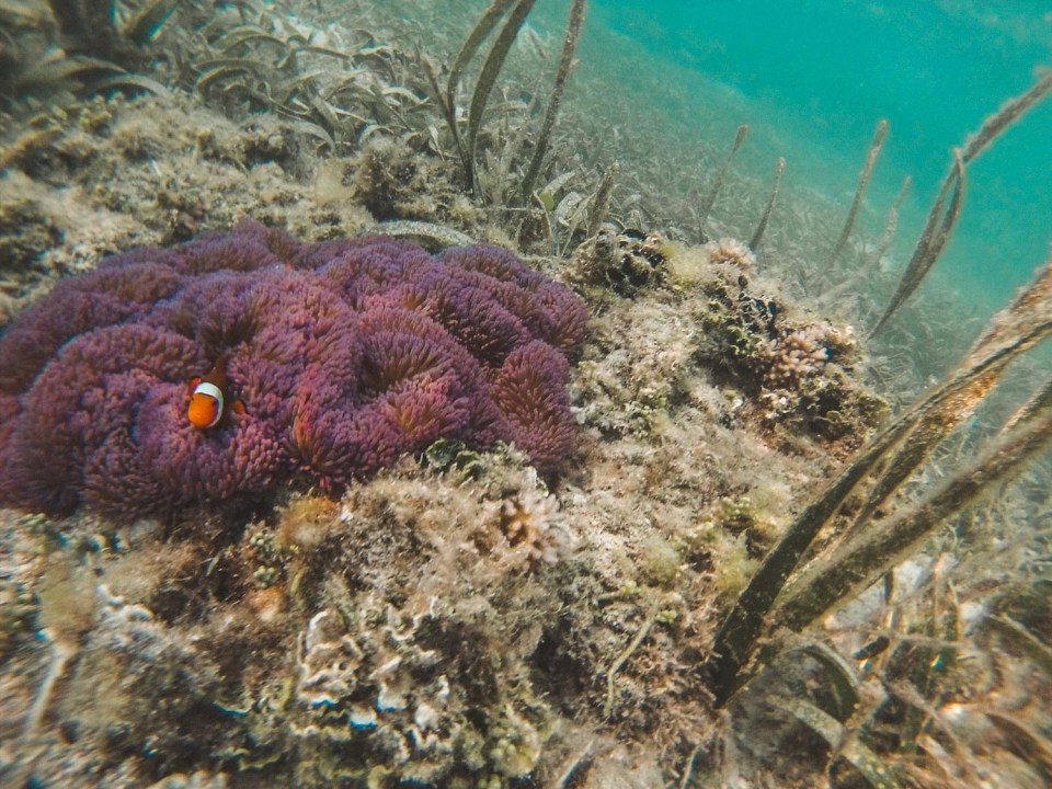 Corals and Clownfishes