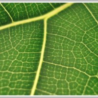 A Houseplant With Serious Attitude - The Fiddle Leaf Fig