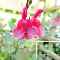 Perfect Patio Plant   Salvia Hot Lips