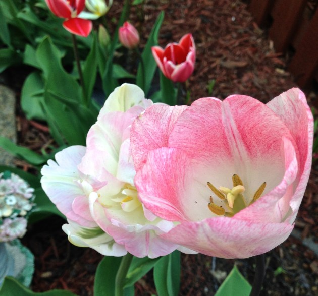 Into the Garden: Tulips