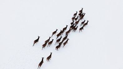 population estimates drone deer aerial