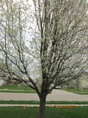 The Bradford pear out front is also in bloom! Photo by Victoria Laughlin, 2013.