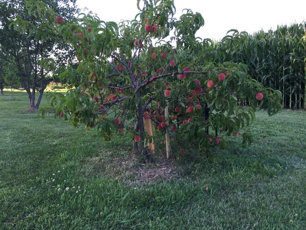 Peach tree food