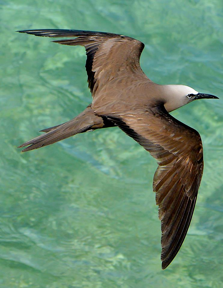 Brown Noddy . Photo by Ted Lee Eubanks