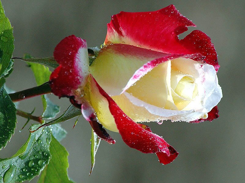 love-black-and-white-purity-combination-dew-drops-leaves-red-rose-127583