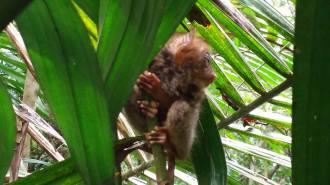 tarsier2