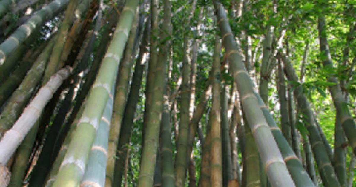 bamboo live 'green