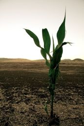 The Corn Is Dying All Over America