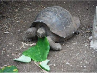 Galapagos turtle - tortoise at The Editing Pen