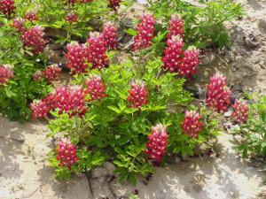 maroon Texas bluebonnet, http://texassuperstar.com/plants/maroon/realmaroon.html