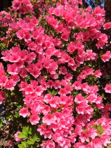Five Things I Love About Tulsa: Azaleas