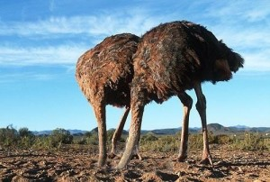 2 ostriches with heads in dirt