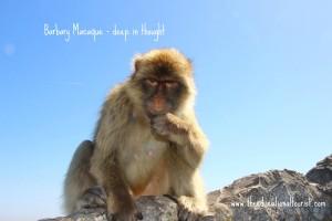 Barbary Macaque, Gibraltar Tips, www.theeducationaltourist.com