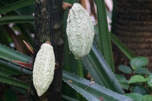 Nassau: cocoa beans growing