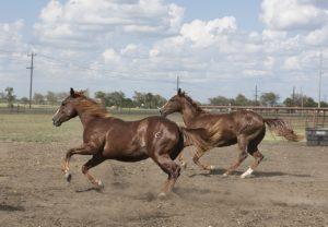 2 brown horses running, Wyoming Visit, www.theeducationaltourist.com