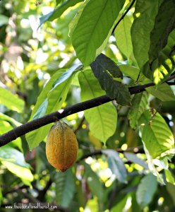 cocoa pod on tree, Original Hawaiian Chocolate, www.theeducationaltourist.com
