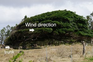 wind blown tree, South Point, Hawaii, www.theeducationaltourist.com