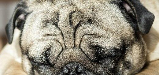 sleeping pug - you can sleep on a plane!