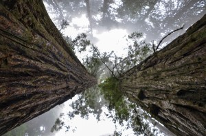 Red wood trees, San Francisco - Top Kid Friendly Sites, www.theeducationaltourist.com
