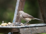 The mature bird hops to the tray of food across from the youngster.