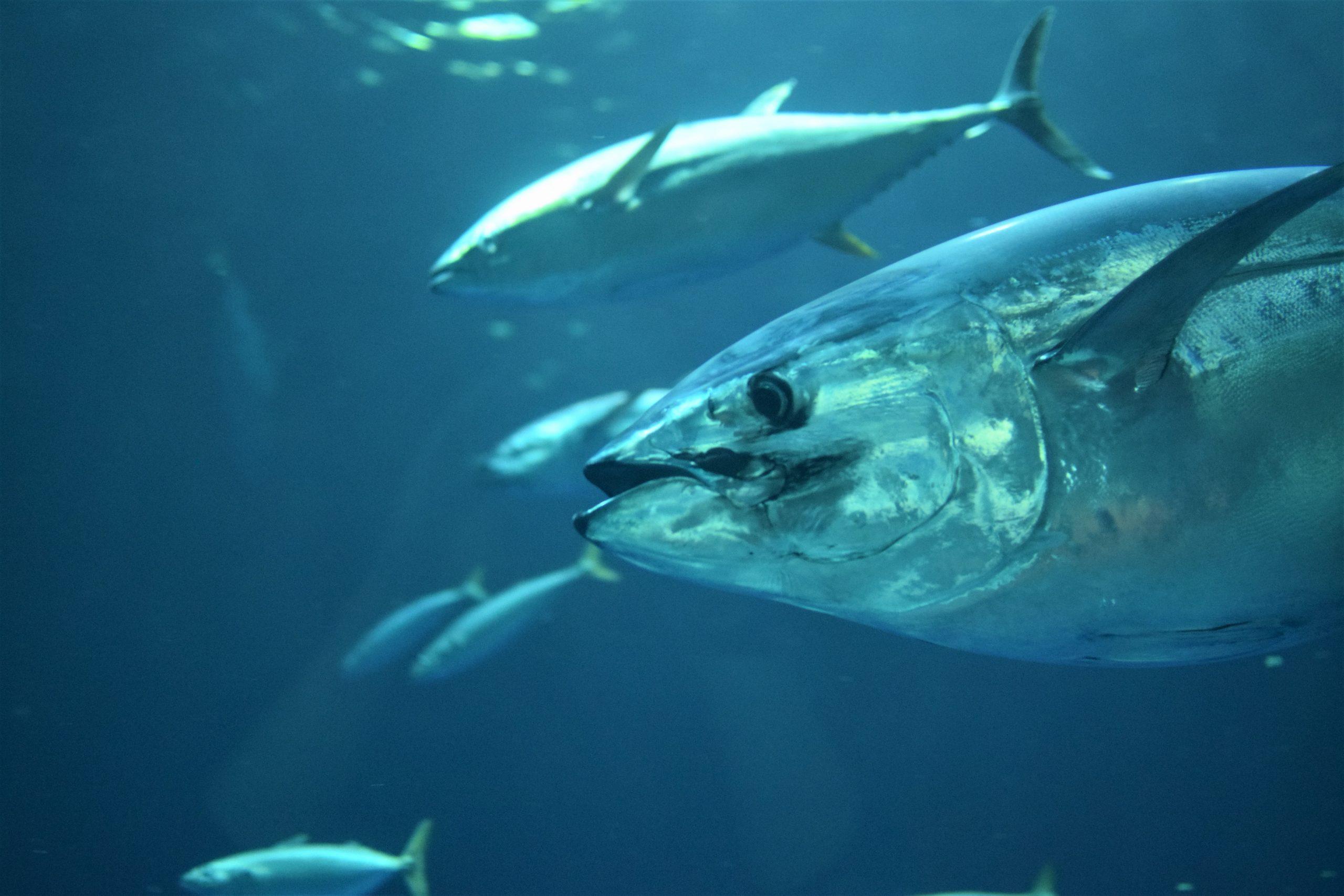 Bluefin Tuna, the Toughest and Badass Fish in the Sea!