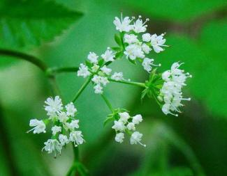 Sweet Cicely forage for one of the forgotten herbs with the most potential. From Natural Sweetner to medicinal properties learn how to forage, harvest, and cook with nature's natural sweetener https://theendsoftheearthblog.com/sweet-cicely/