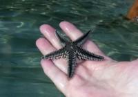 Cushion Sea Star Predators