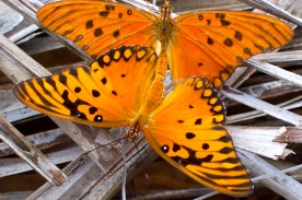 Mating Passion Butterflies / Gulf fritillaries