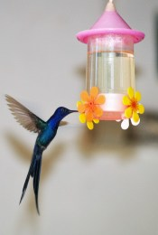 Swallow tail hummingbird ©Claire Pattison Valente 2016