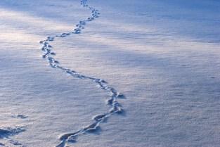 Rastos de animais na neve. Animal tracks on the snow.