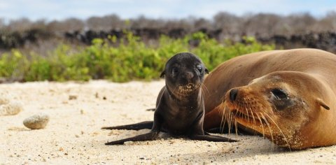 Galapago-Sea-Lion-Pup1