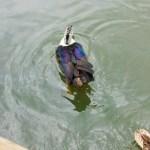 pretty coloured duck