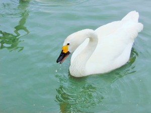 swan at slimbridge