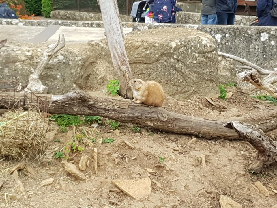 A prairie dog is led on a log in its enclosure as people look on.